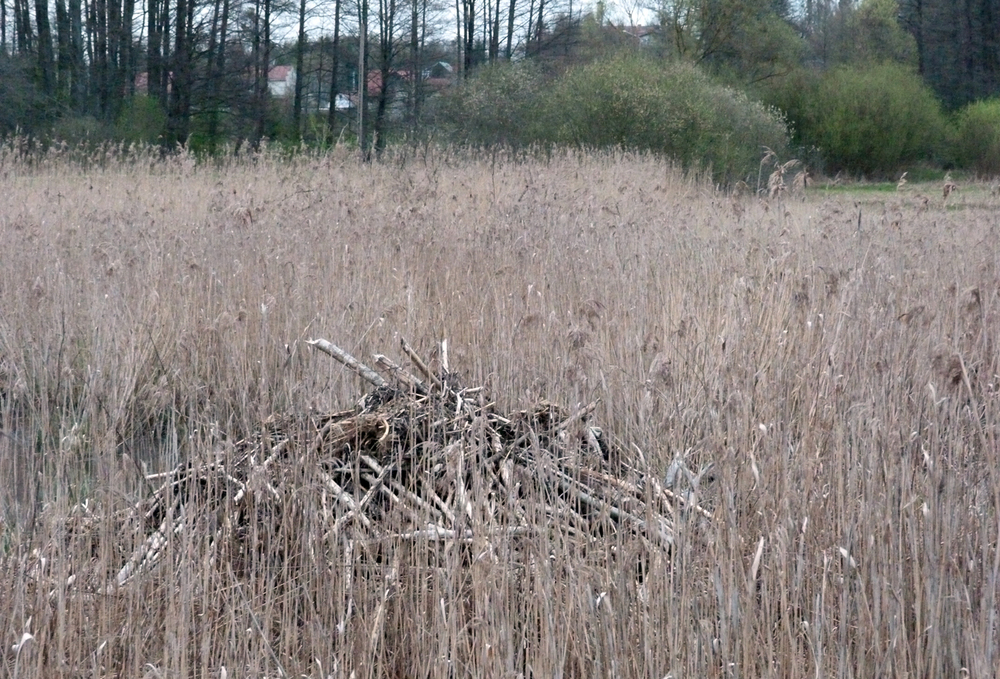 Beaver lodge in the reeds.