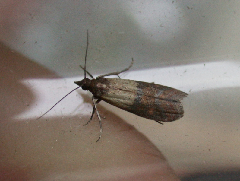 indian meal moth - inside the house