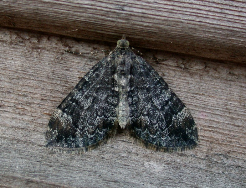 common marbled carpet - garden