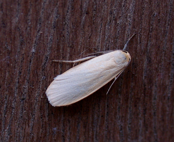 dingy footman (yellow form) - garden