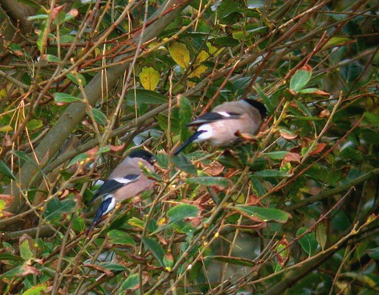bullfinches - pleinmont