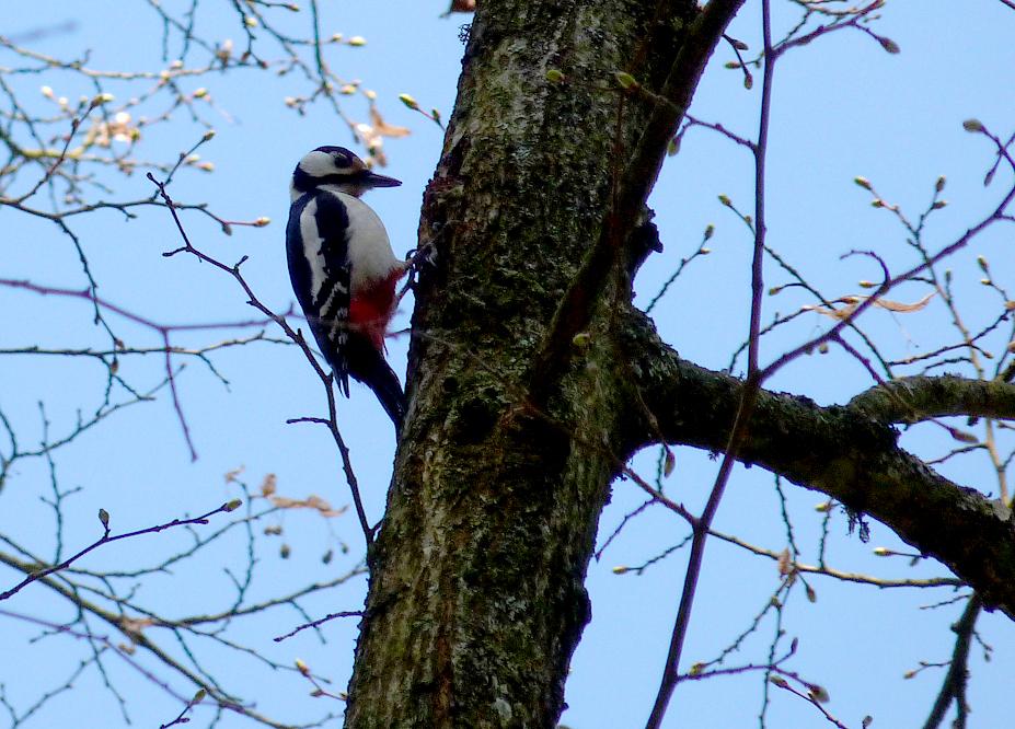 Great Spotted Woodpecker - Bialowieza Town Park