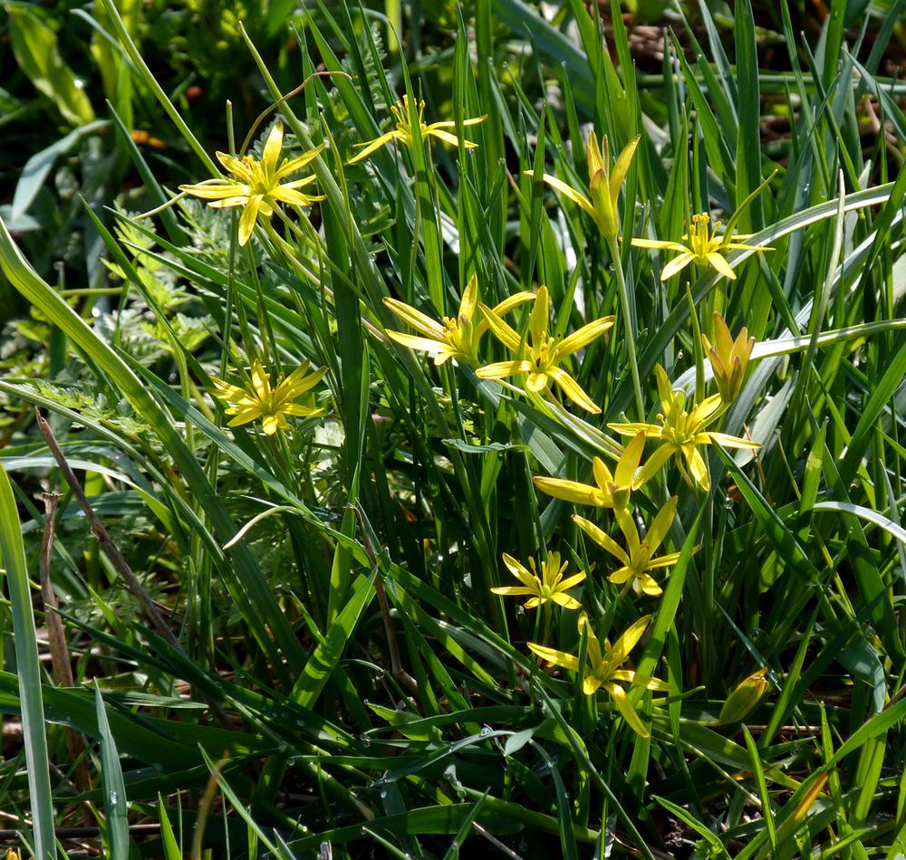 yellow star-of-bethlehem, Bialowieza