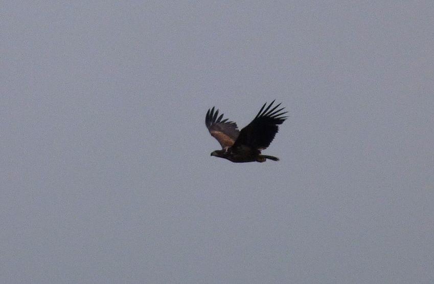 white-tailed eagle - Barwik