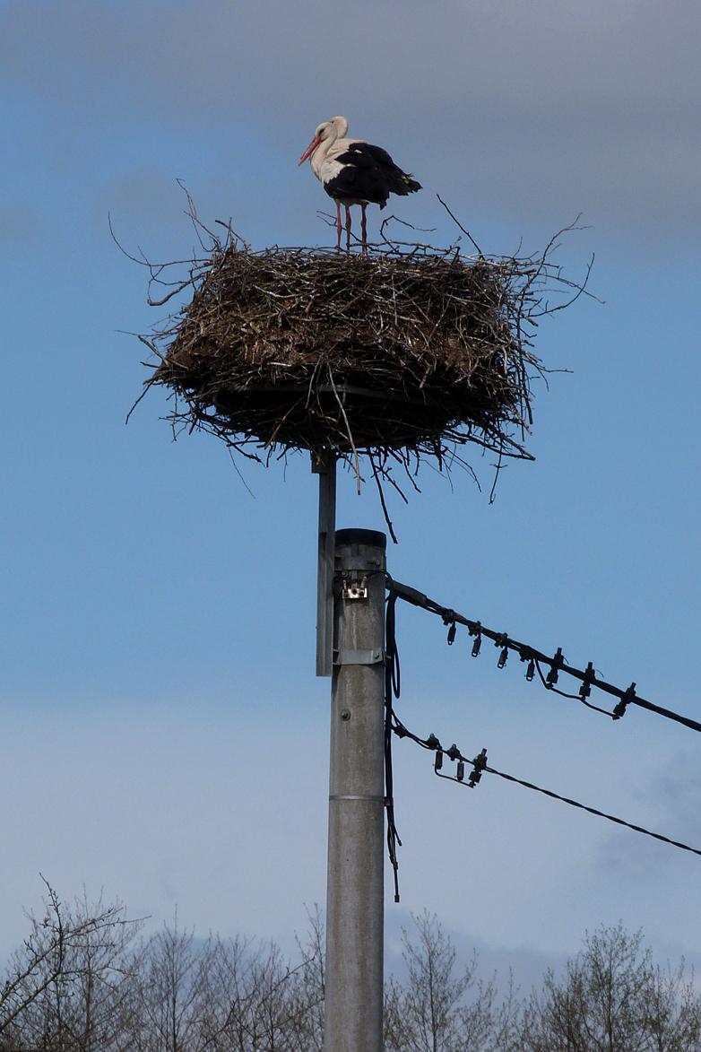 White Storks - Mocarze
