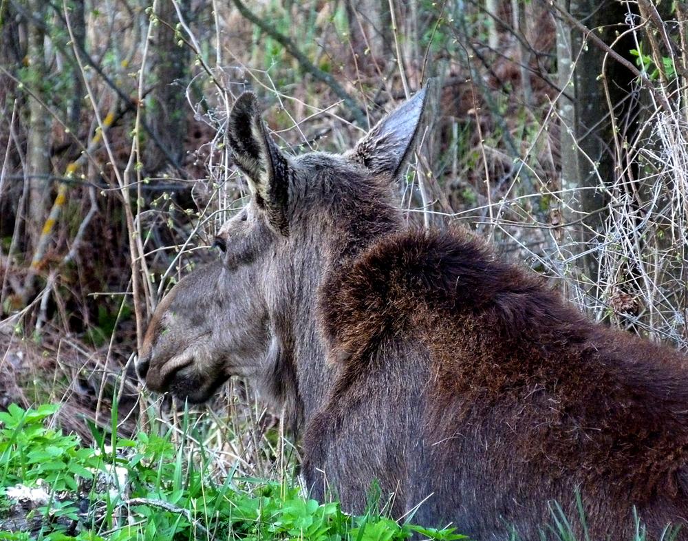 A roadside Moose