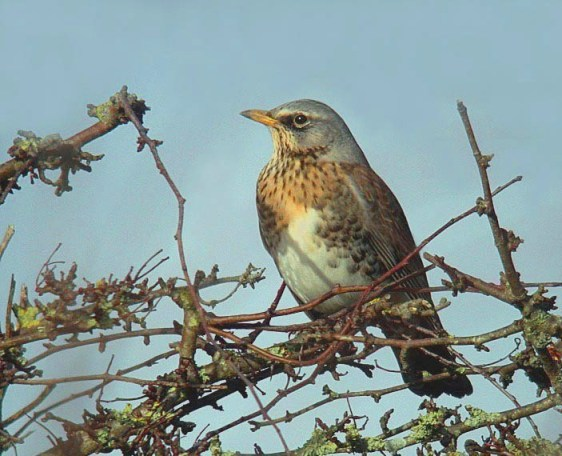 fieldfare - vazon area - jan 10