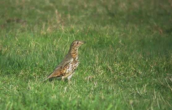 mistle thrush - near vazon - jan 15