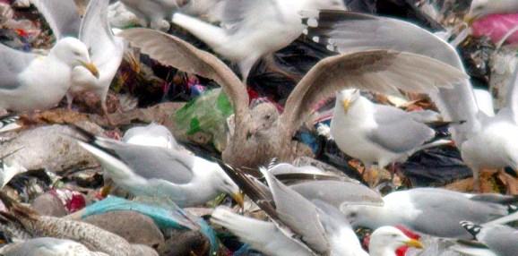 glaucous gull - mont cuet - feb 10