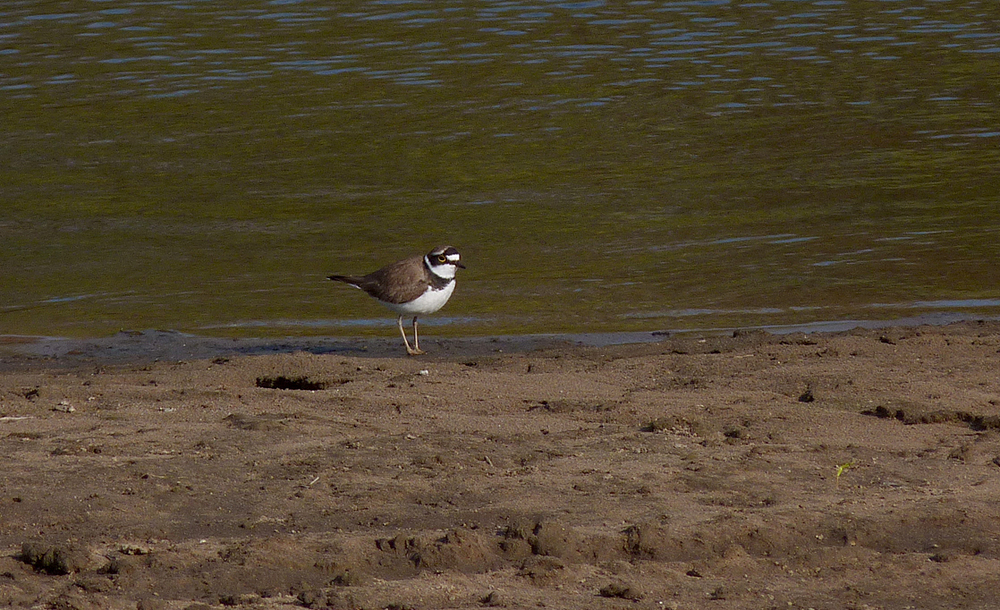 Little Ringed Plover - Pomiechowo Marshes