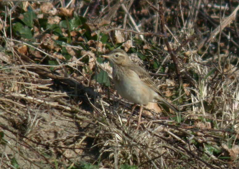 Richard's Pipit - Pulias - 5 Mar 10
