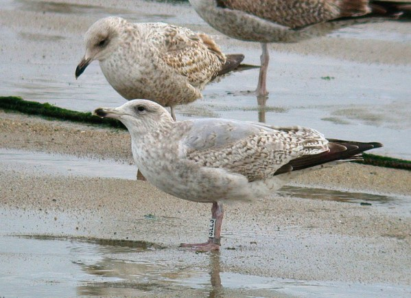 Darvic-ringed Herring Gull - Rousse