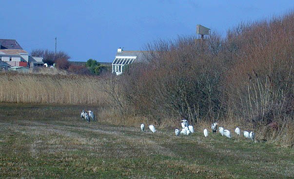 Grey Herons & Little Egrets roosting behind the Claire Mare