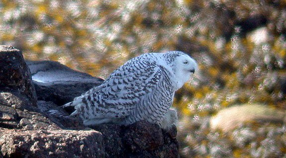 Snowy Owl on Lihou