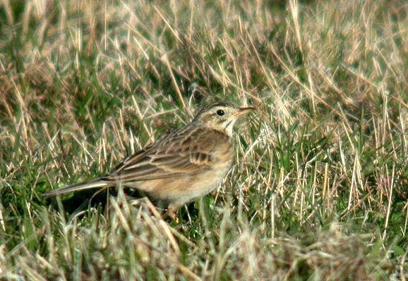 Richard's Pipit - Pulias - 15 Mar 10