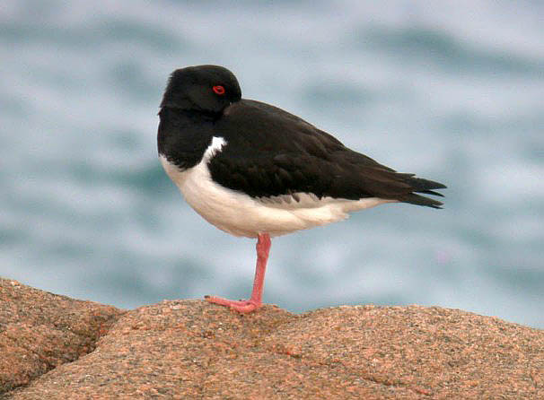 Oystercatcher - Fort Hommet - 17 Mar 10