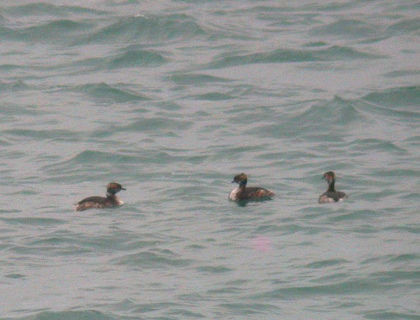 Slavonian Grebes - L'Eree Shingle Bank - 24 Mar 10