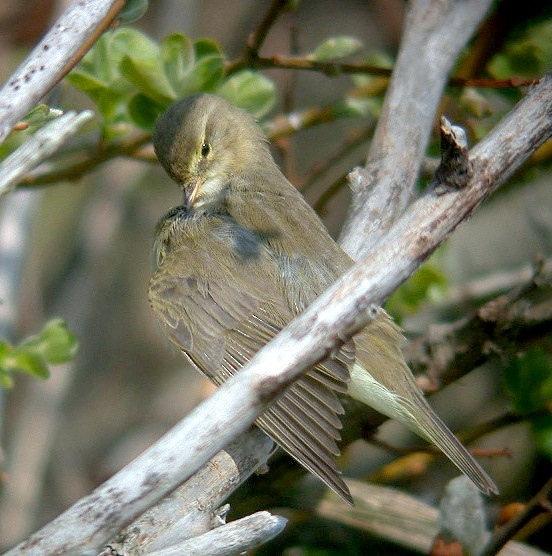 Willow Warbler - Claire Mare - 13Apr10