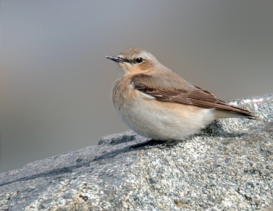 Wheatear - Pulias - 21 Apr 10
