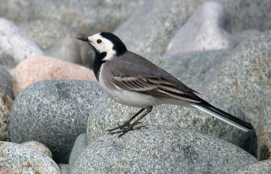 white wagtail - PULIAS - 21 APR 10