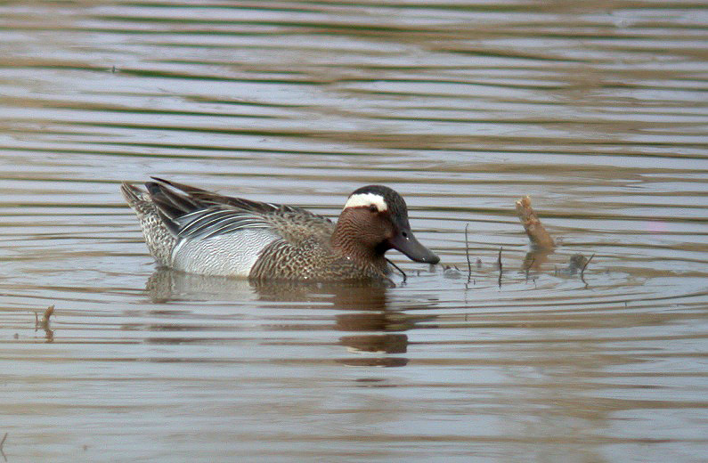 Garganey - Claire Mare - 6th May 10
