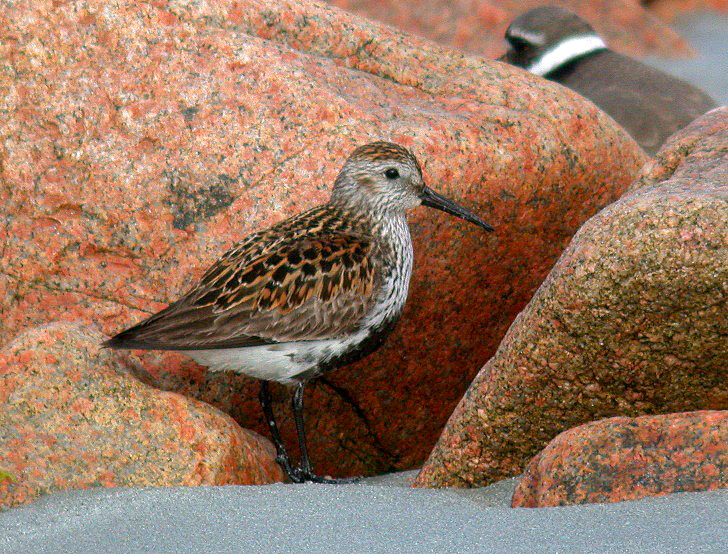 Dunlin - Ft Hommet - 14 May 10