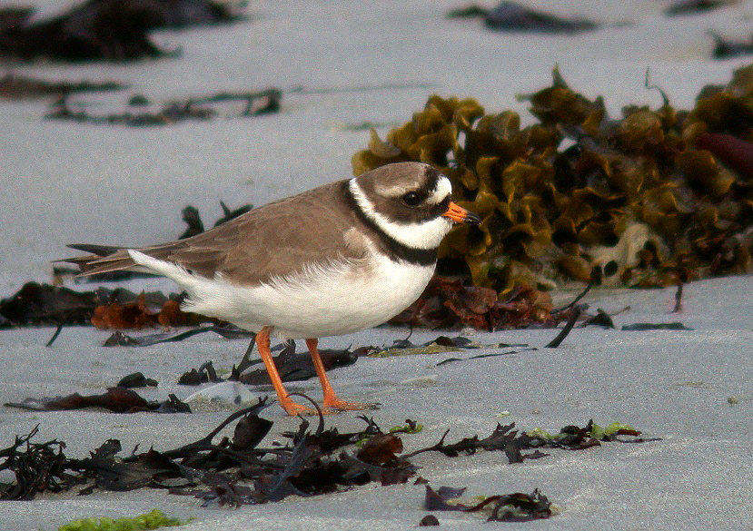 Ringed Plover - Ft Hommet - 14 May 10