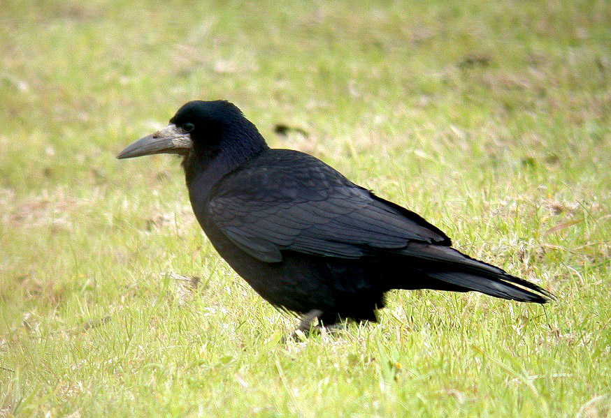 Rook - Mt Herault - 16 May 10