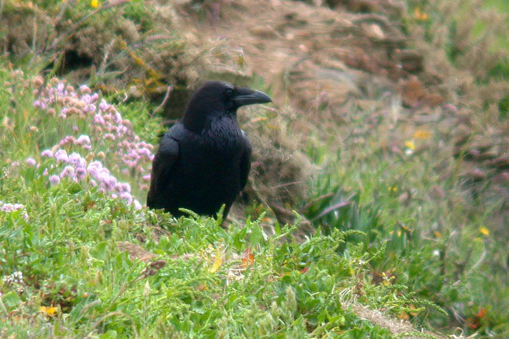 Raven - Mt Herault - 16 May 10