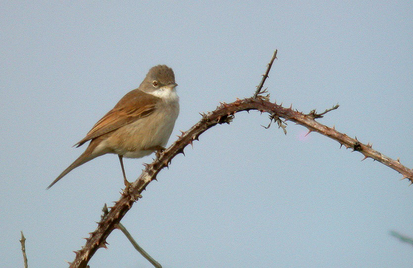Whitethroat - Pleinmont