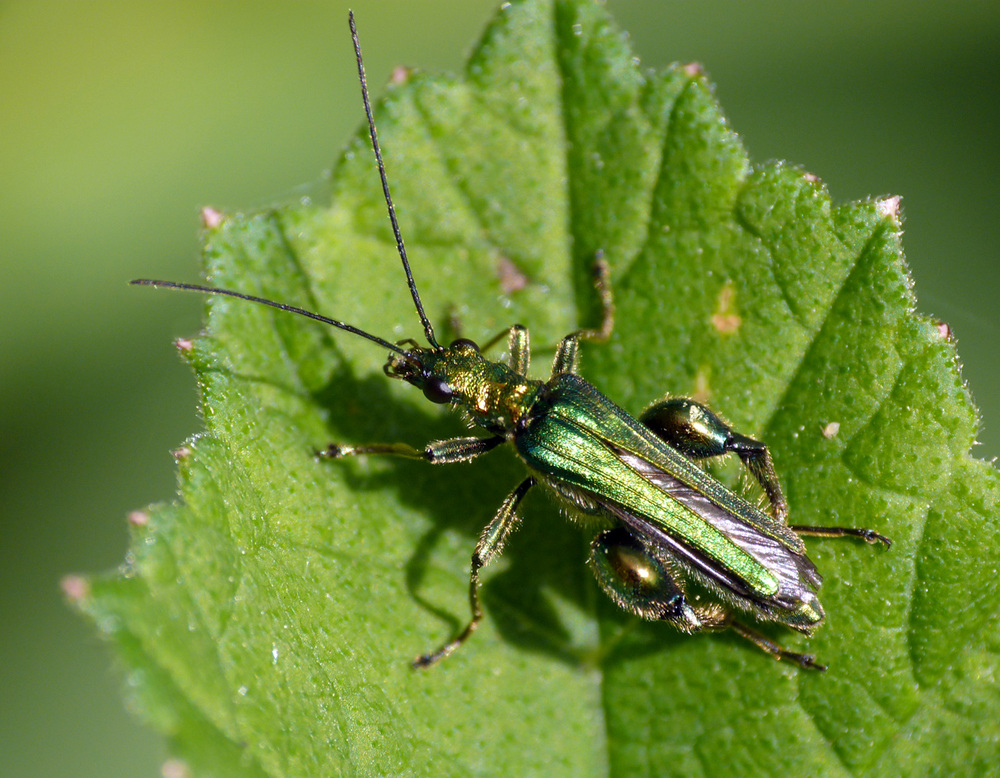 Swollen-thighed Beetle - Mouin Huet - 31 May 16