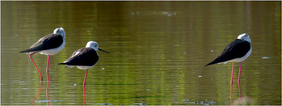 Black-winged Stilts - Claire Mare, Jun 10