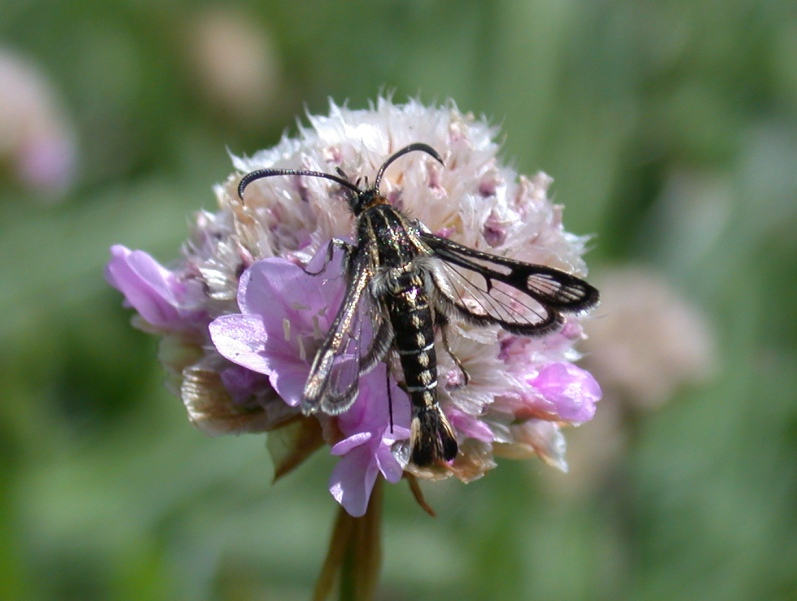 Thrift Clearwing - Mont herault, Jun 10