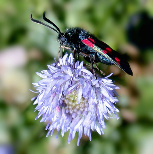 Five-spot Burnet - Mont Herault - Jun 10