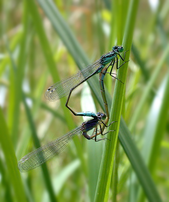 Blue-tailed Damselflies - Talbot Valley - June 10