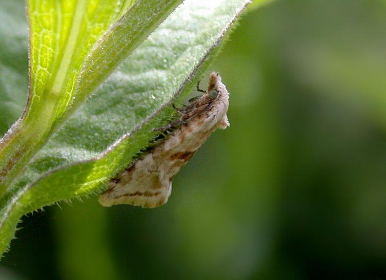 Cochylimorpha straminella - Icart Jun 10