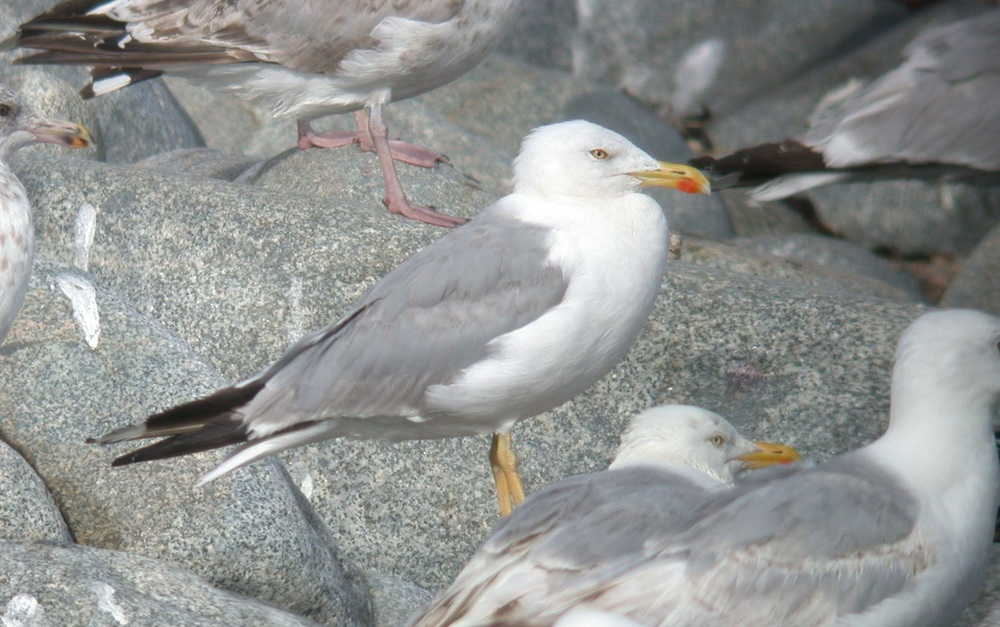 Yellow-legged Gull - Chouet Jul 10