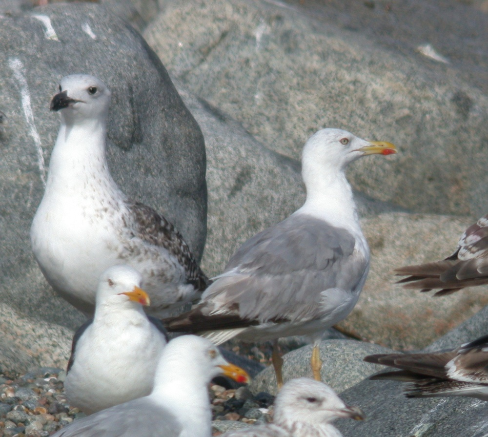 3rd summer Yellow-legged Gull - JuL 10