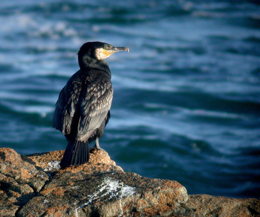 Cormorant - Chouet, Jul 10