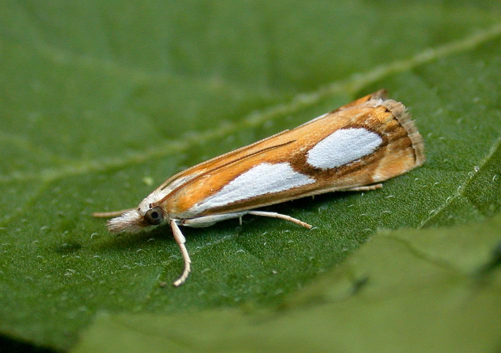 Catoptria pinella - garden Jul 10
