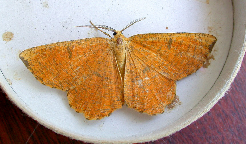 Orange Moth - Icart Jul 10