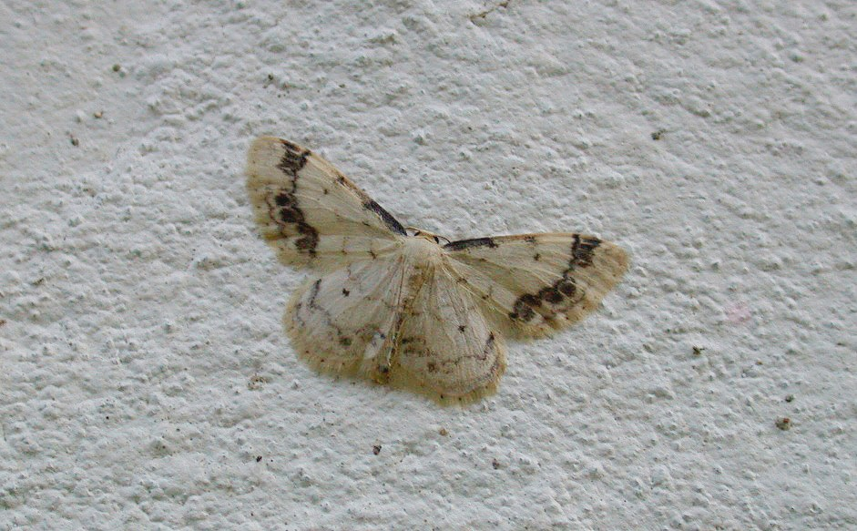 Treble Brown Spot - garden Jul 10