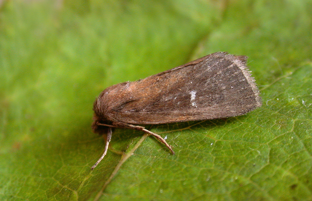 Twin-spotted Wainscot - garden Aug 10