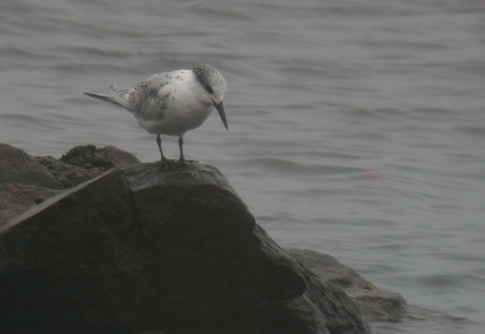 Sandwich Tern - Vazon Aug 10