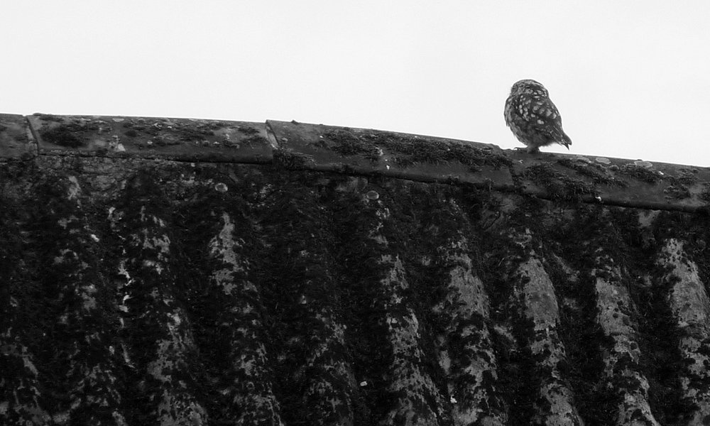 Little Owl, Manor Farm, 31 Jul 16 - as usual with my owl photos, it was facing away.