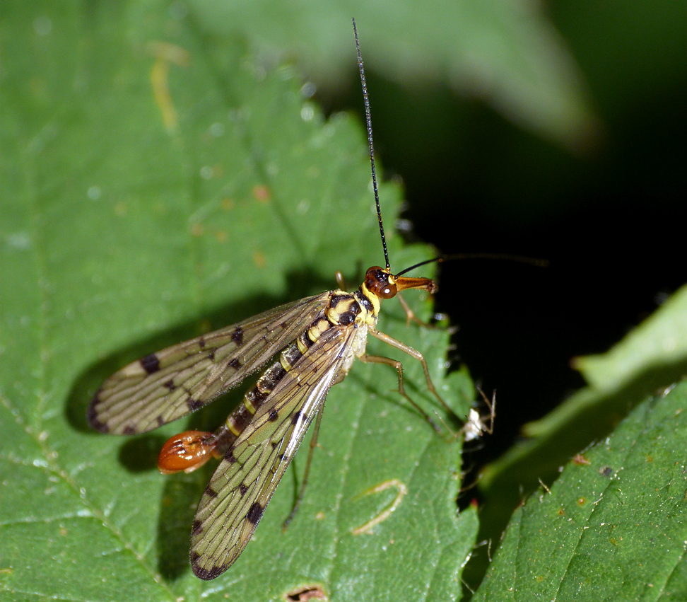 Scorpian-fly, Rockbourne