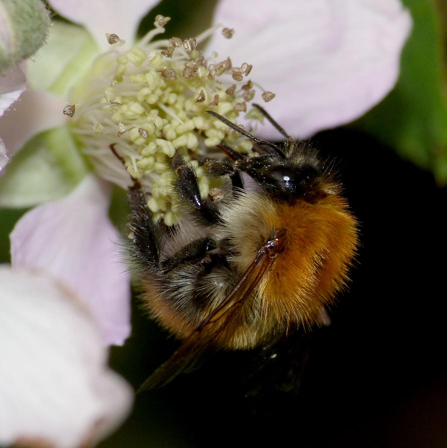 Carder Bee, Rockbourne