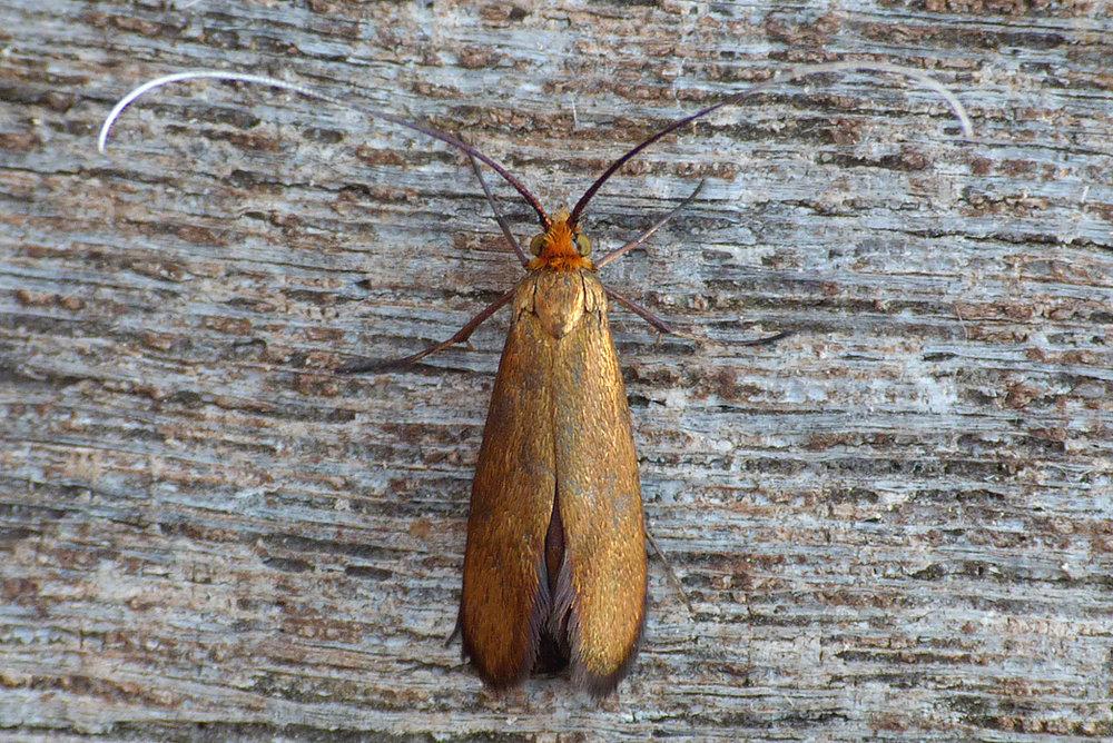 Nemophora metallica, Rockbourne