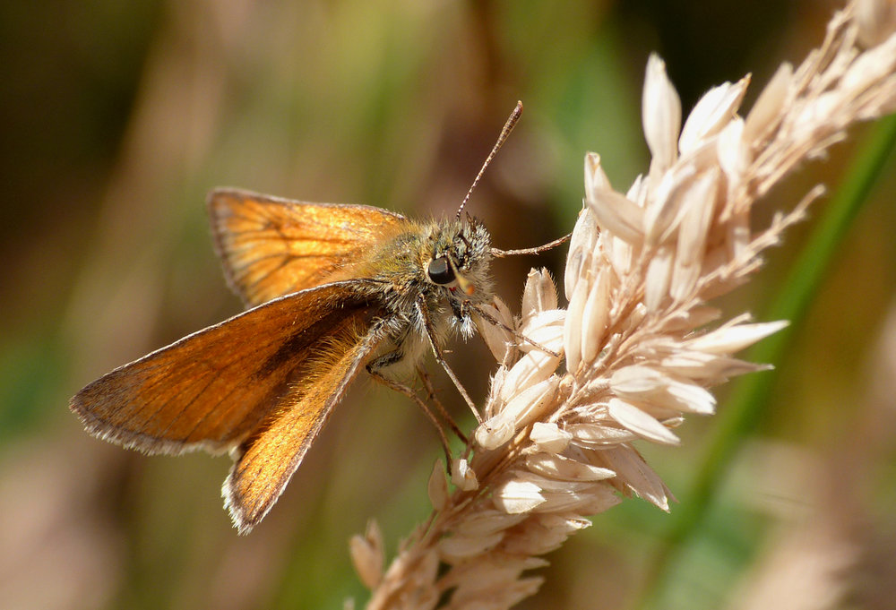Small Skipper, Martin Down
