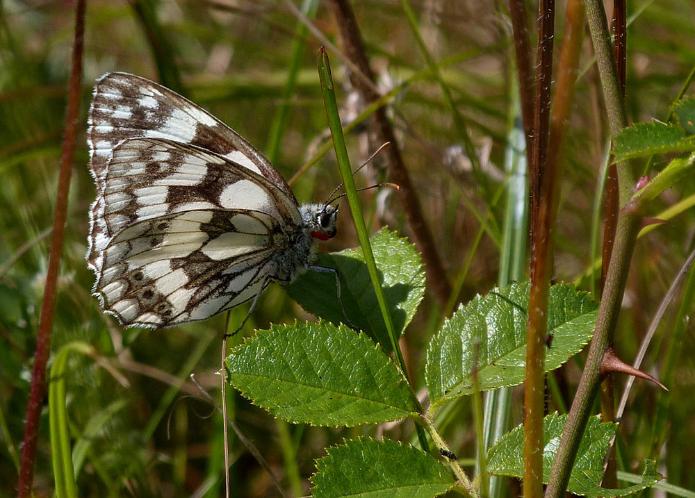 Marbled White, Martin Down